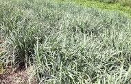 レモングラス効能効果 ハーブティー 通販 オーガニックハーブティー 無農薬ハーブティー  ハーブ農家のハーブティー 国産ハーブティー 免疫力