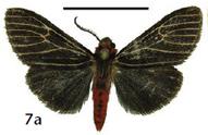 Lemyra atrata (Cerny 2014)
