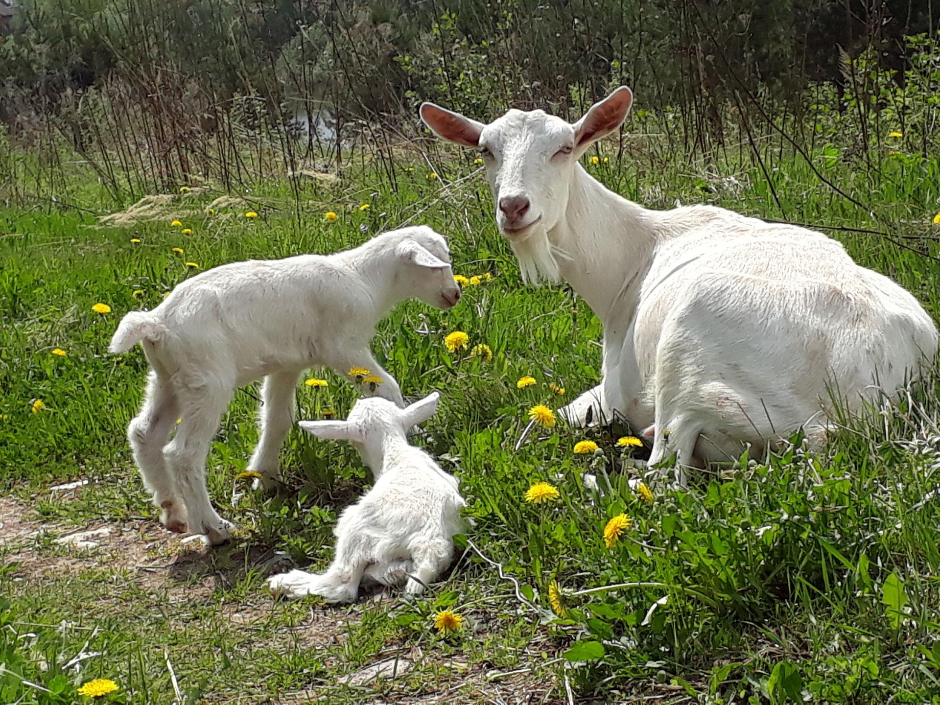 Картинки коза с молоком