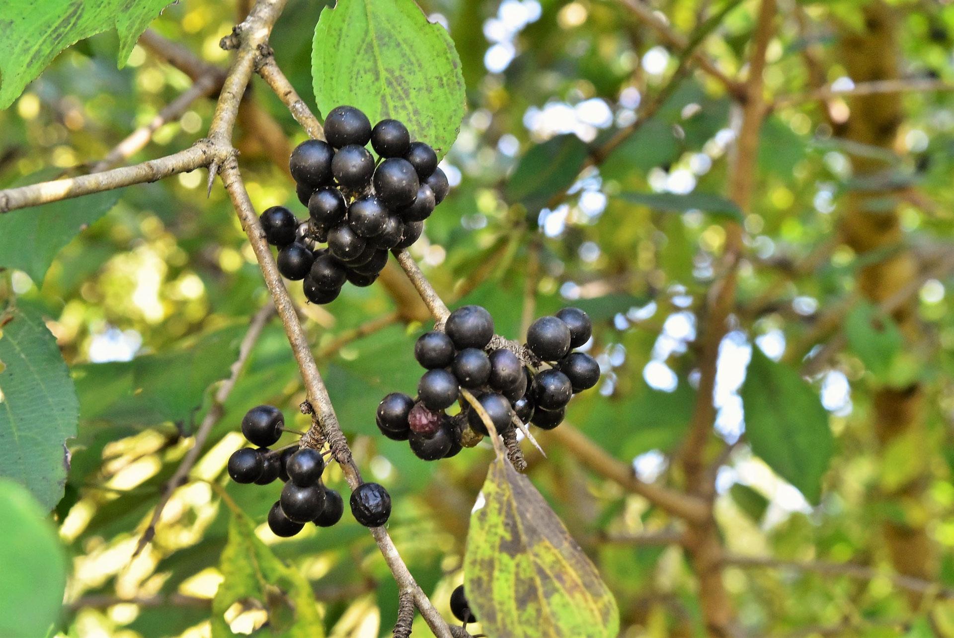 黒い 梅 漢方