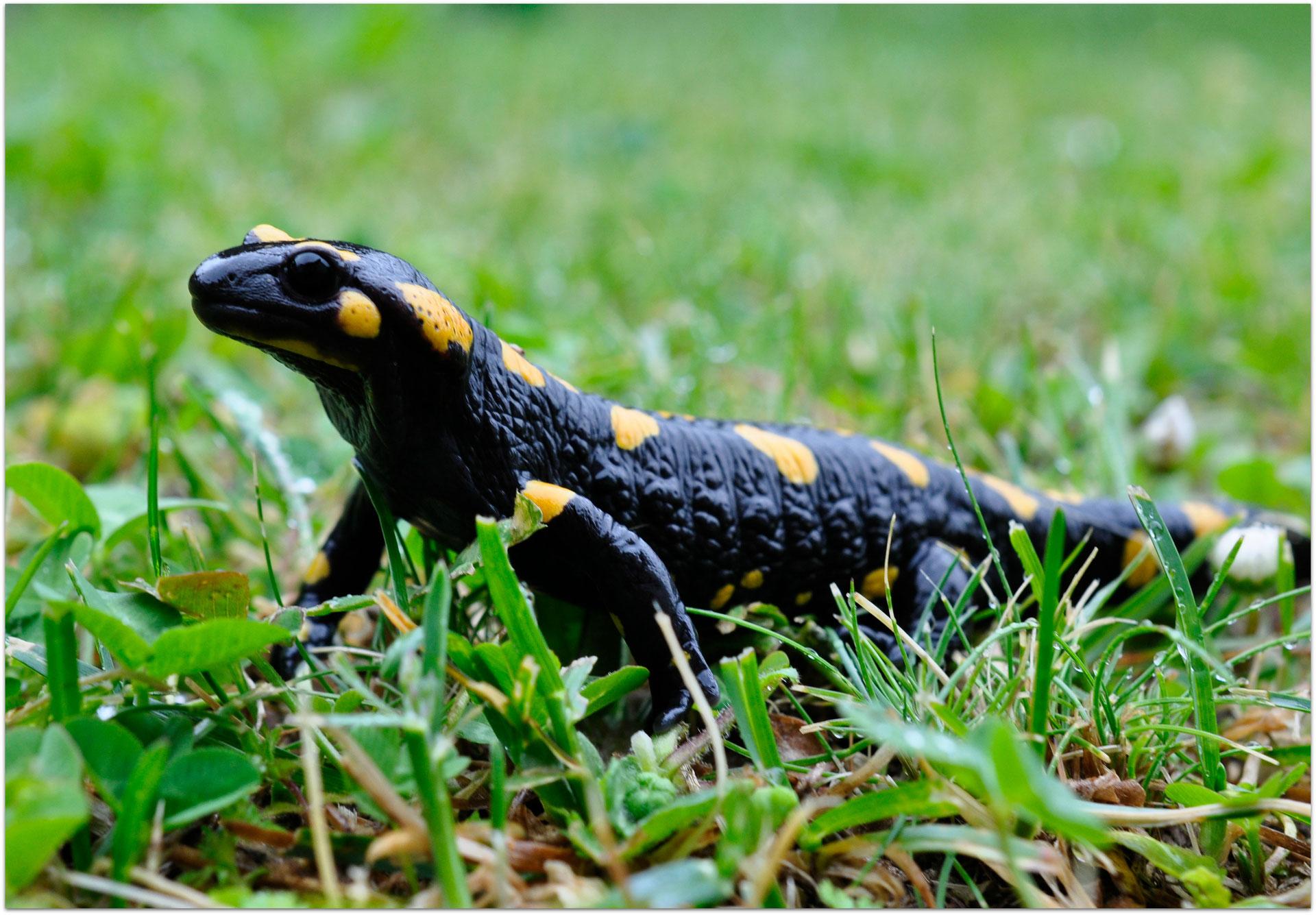 Salamandre tachetée - Point Info Biodiversité du Lot et Garonne