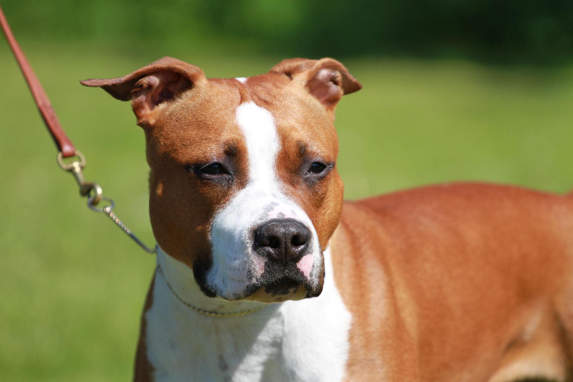 American Staffordshire Terrier Dcbt E V