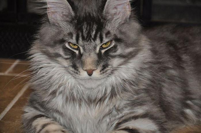 Progressive Near Me >> Kievan Steel of EuroCoons - Blue Silver Mackerel Male Maine Coot Cat - Maine Coon Kittens for ...