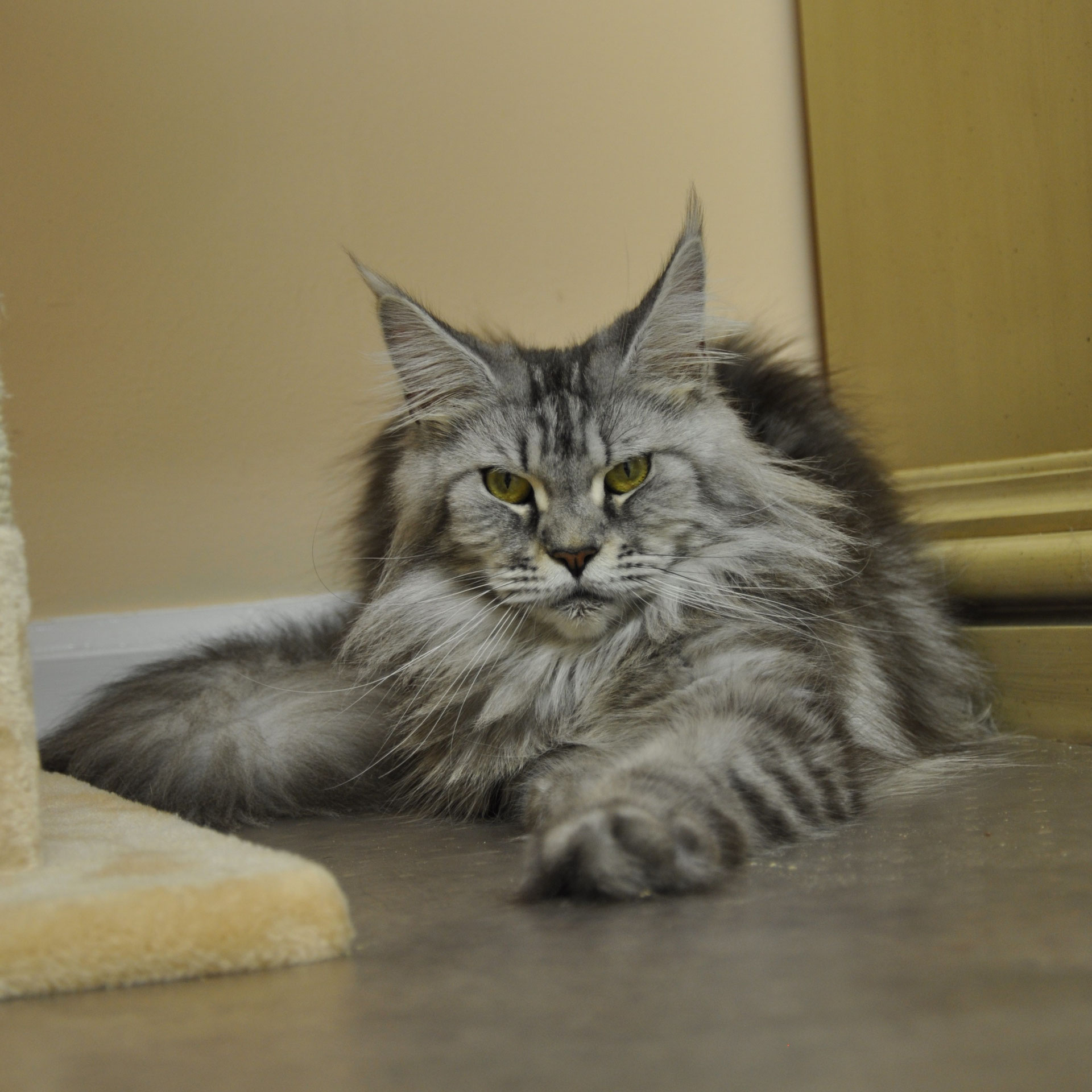 Progressive Near Me >> Mona of EuroCoons - Silver Classic Female Maine Coot Cat - Maine Coon Kittens for sale ...
