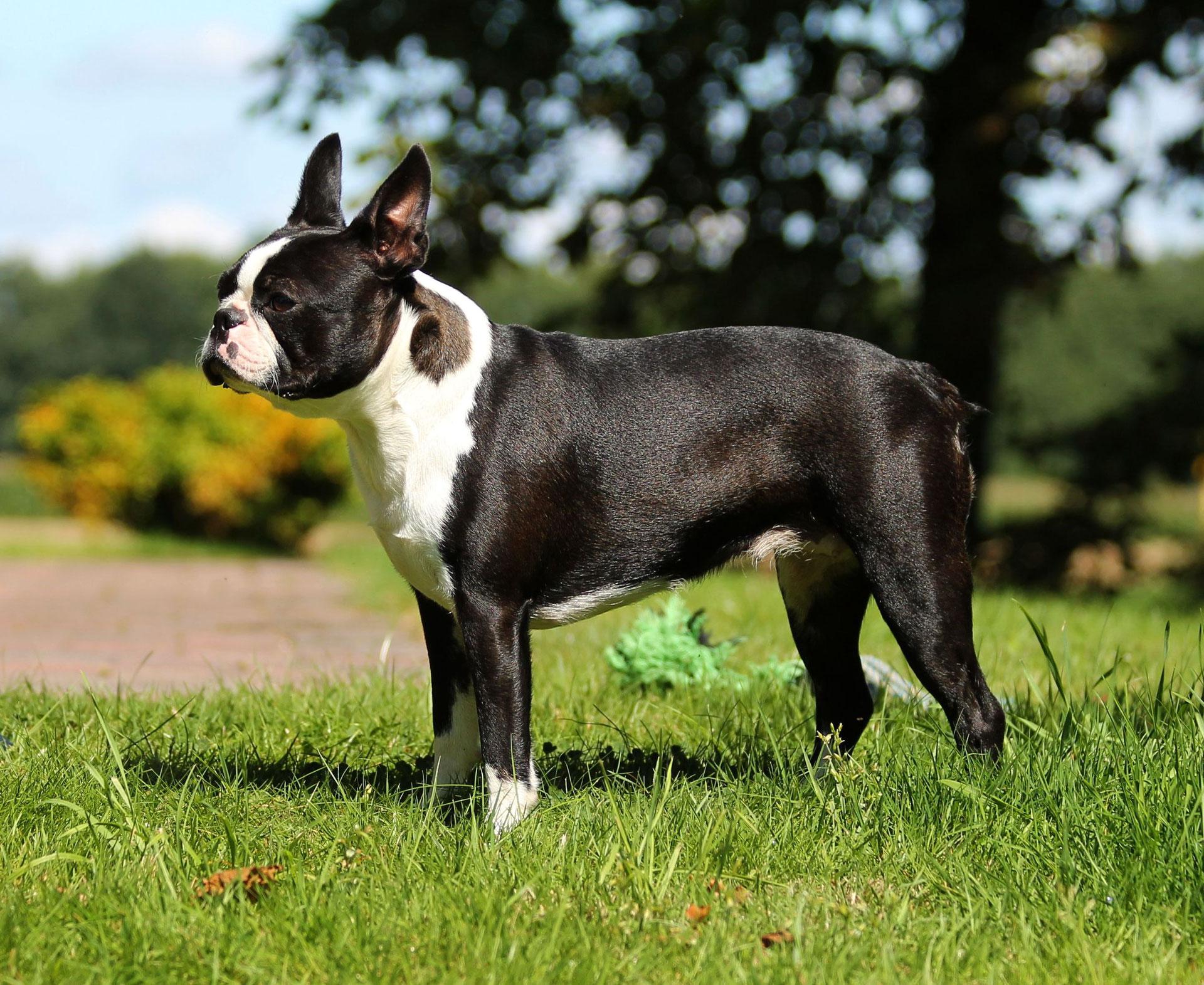 Boston Terrier Schuetzengrunds Webseite