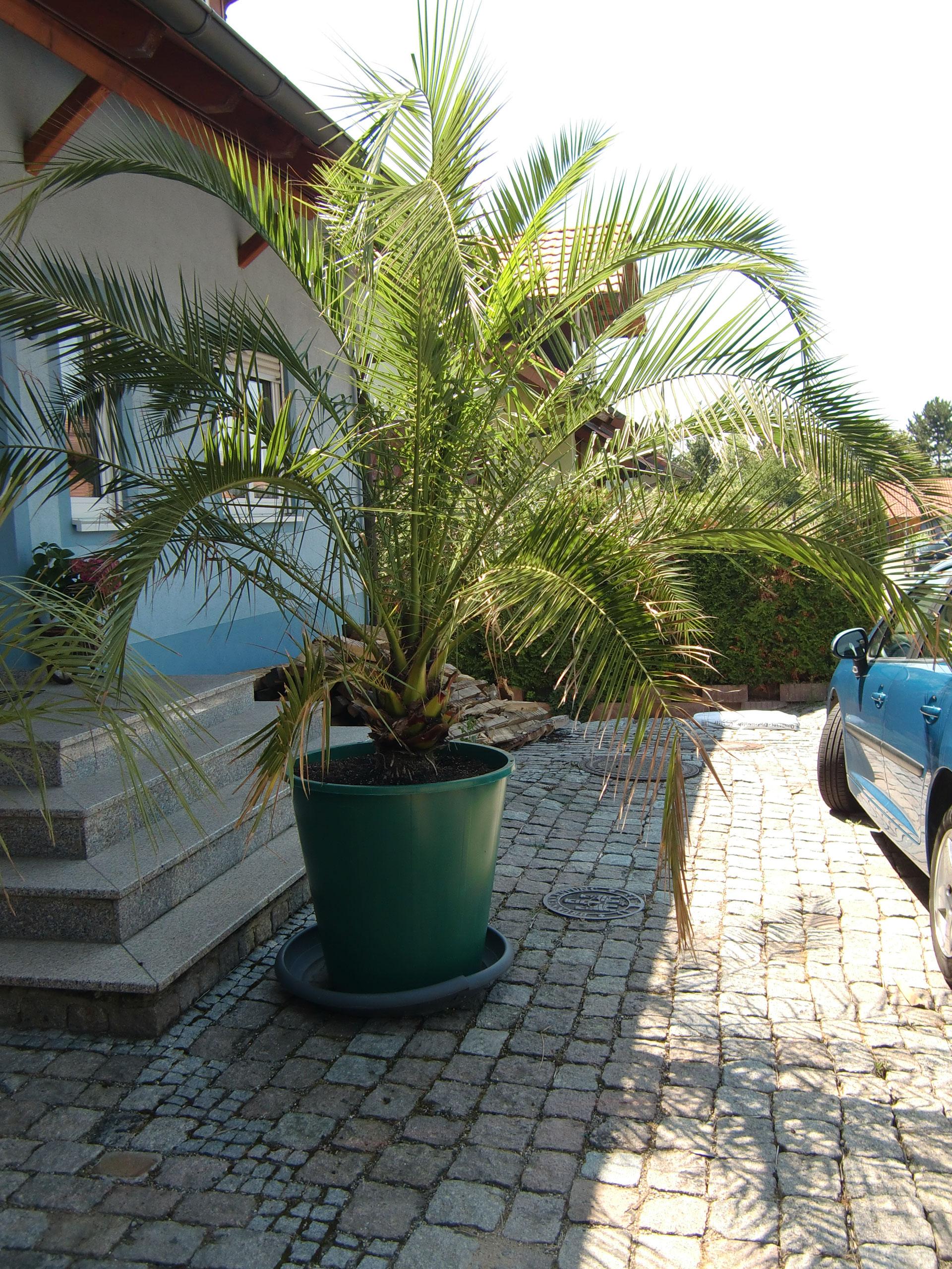 kanarische dattelpalme phoenix canariensis palmsandmores webseite
