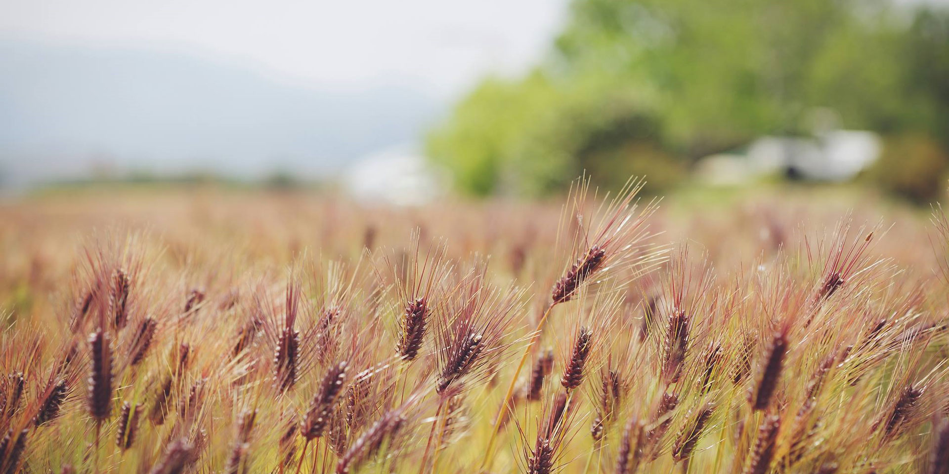 の 大麦 違い 小麦 と