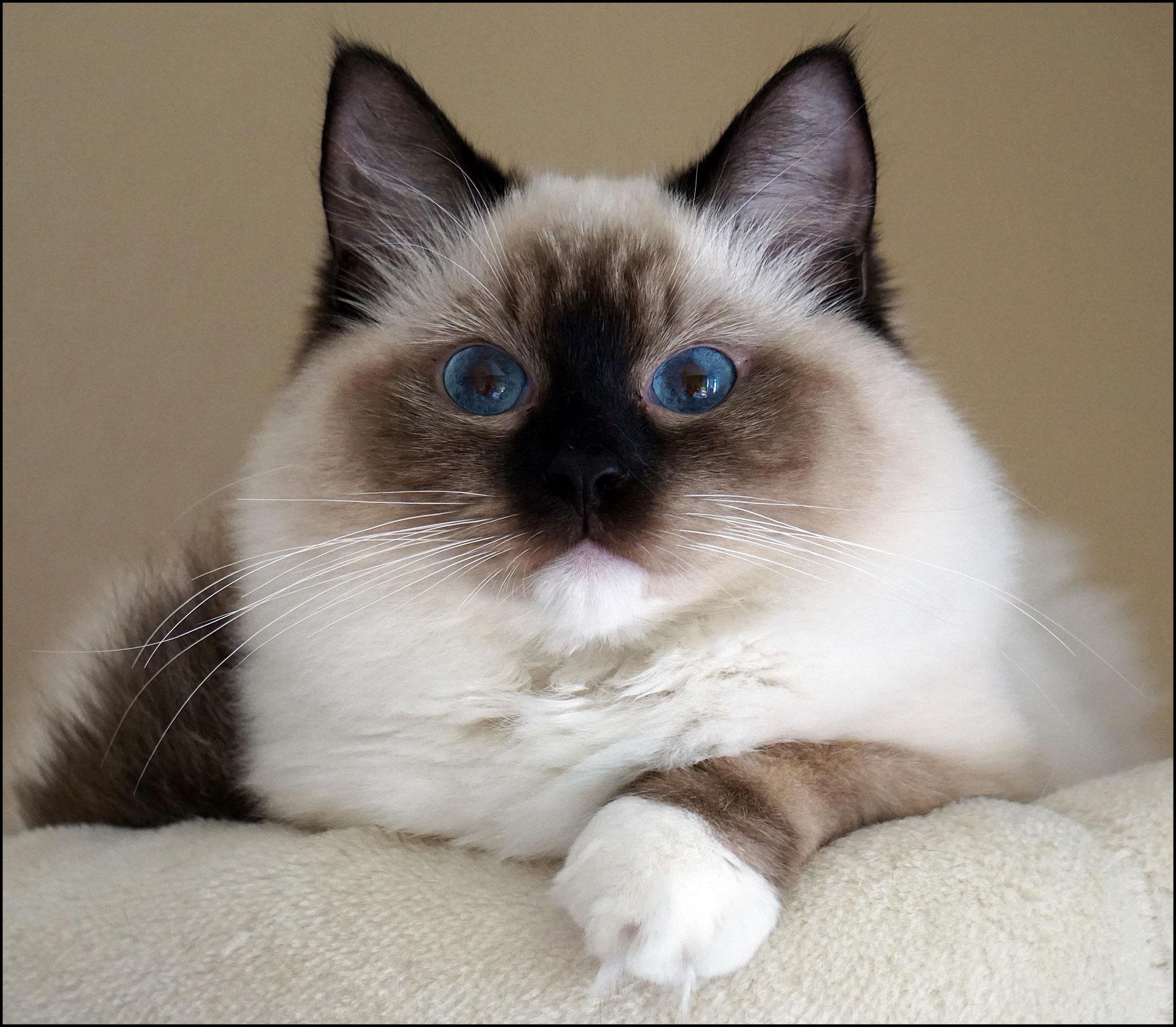 (c) Ragdollcats-forever.de