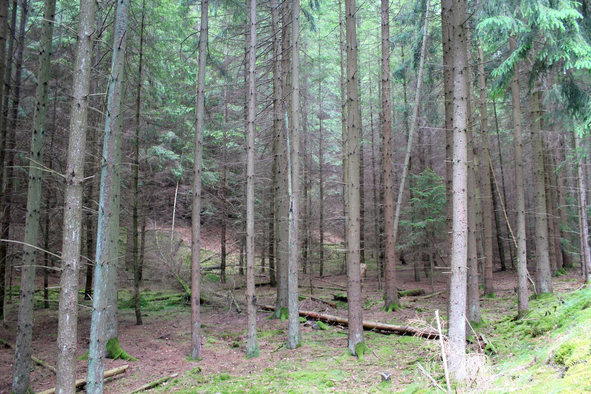 Super Monokulturen durch Vornutzung - Pfälzerwald &HY_06