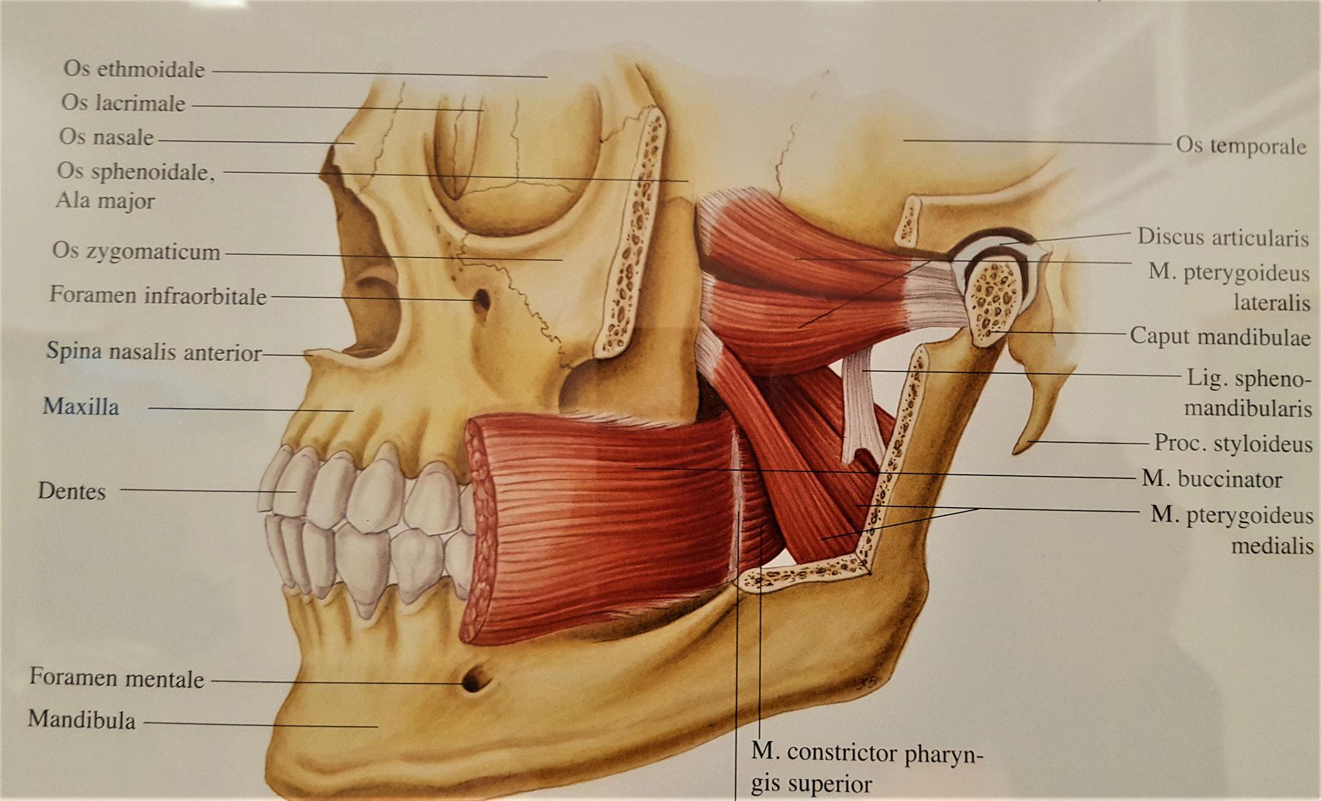 Craniomandibuläre Dysfunktion - Funktionsstörungen an Zähnen sowie ...