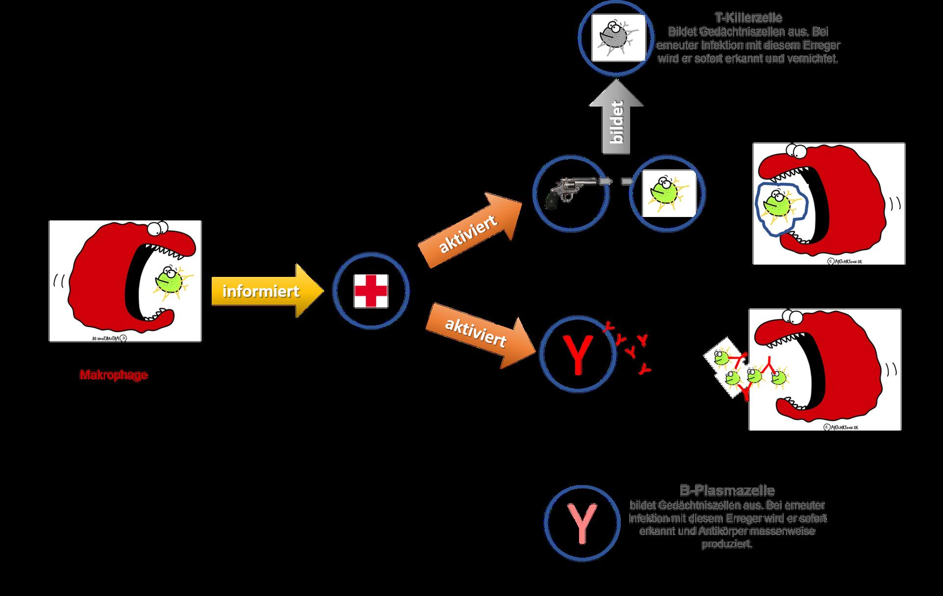 Immunsystem Vorbereitung Auf Den Msa