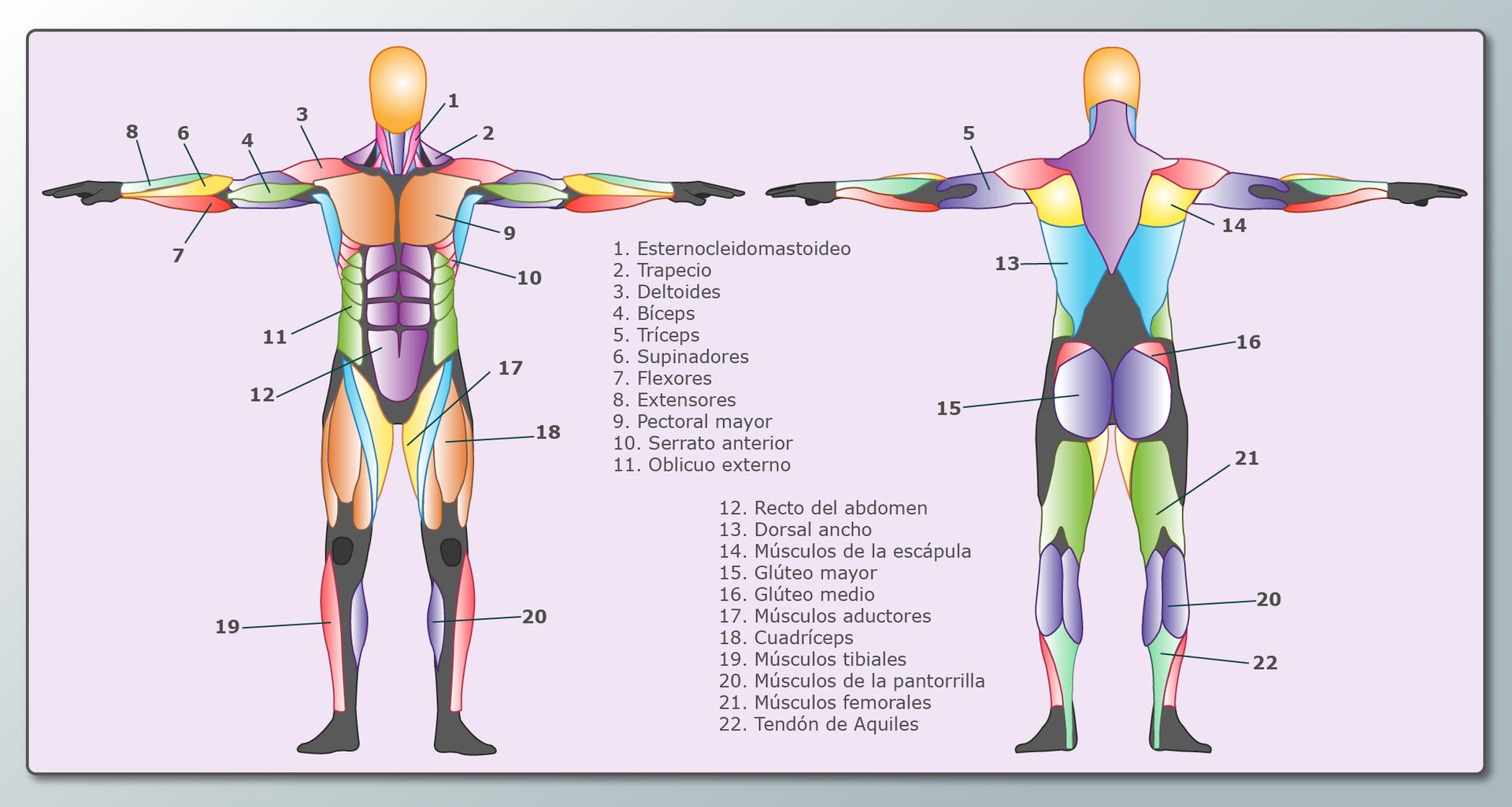 Músculos - Guía Poly-Clay