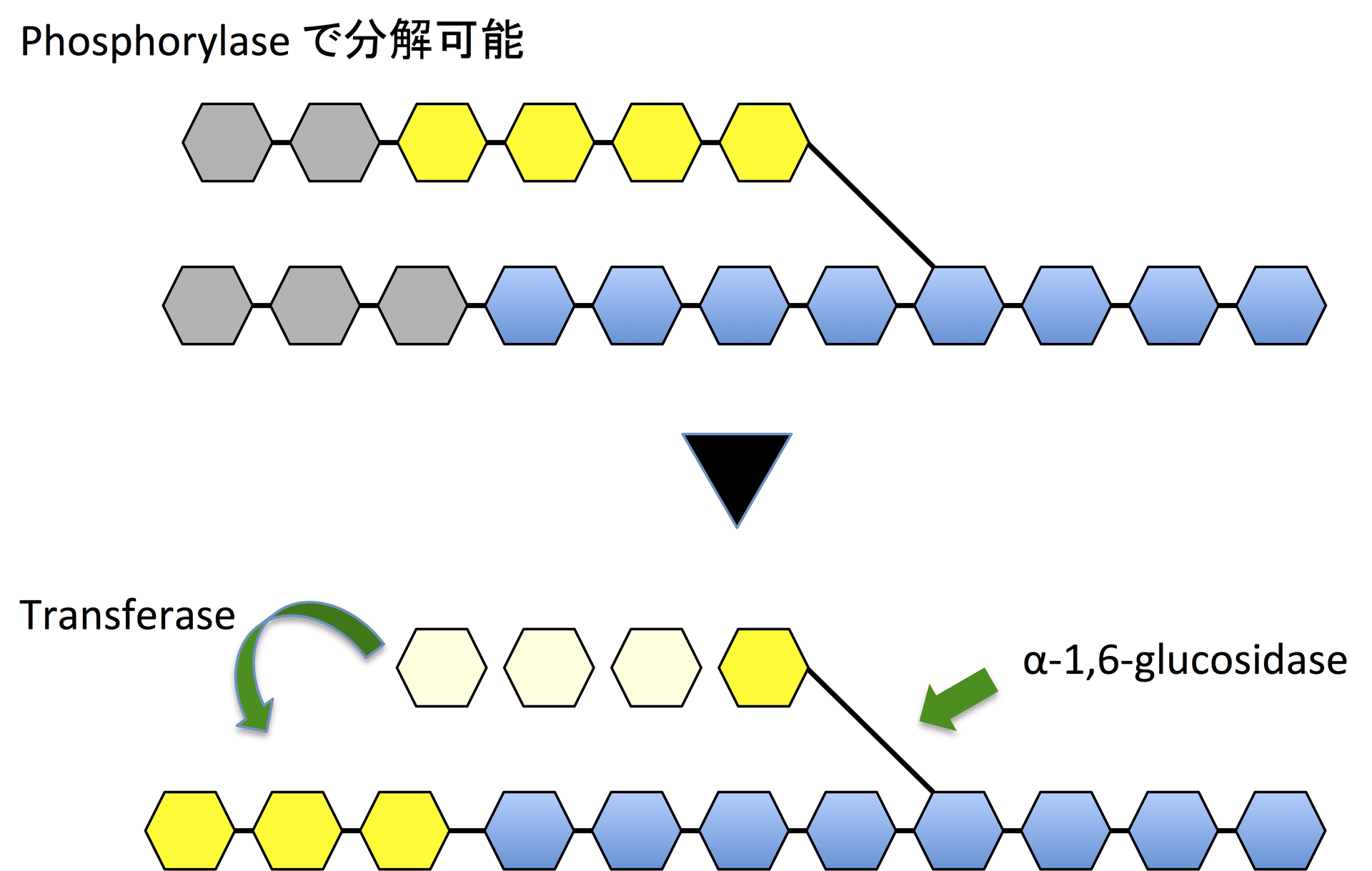6-ホスホ-β-グルコシダーゼ