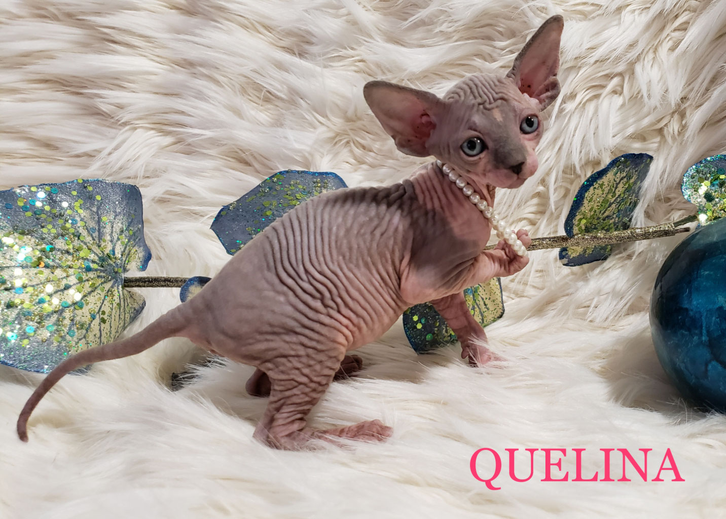 Sphynx Cattery located in California - Amour Sphynx Kittens