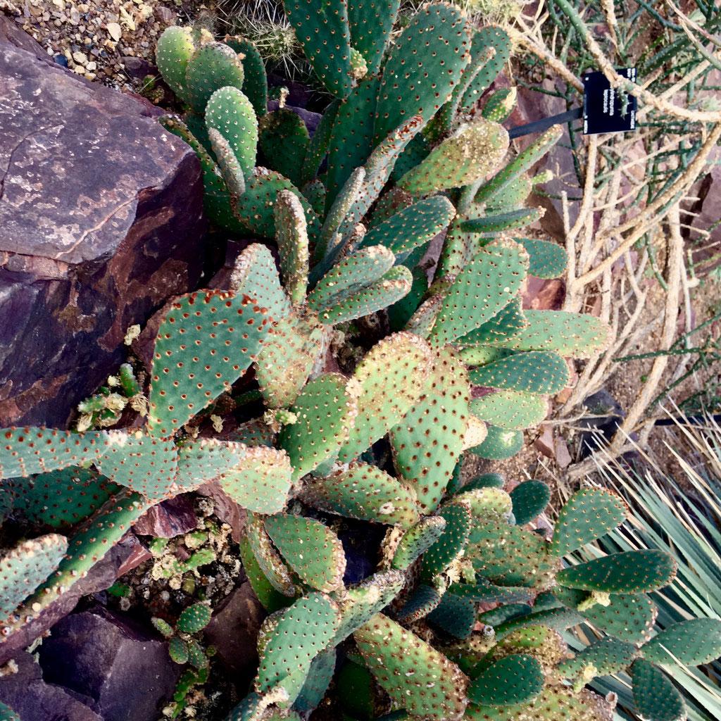 Potgrond Voor Cactussen.Verzorgingstips Voor Het Kweken Van Cactussen Inclusief Cactusvijg