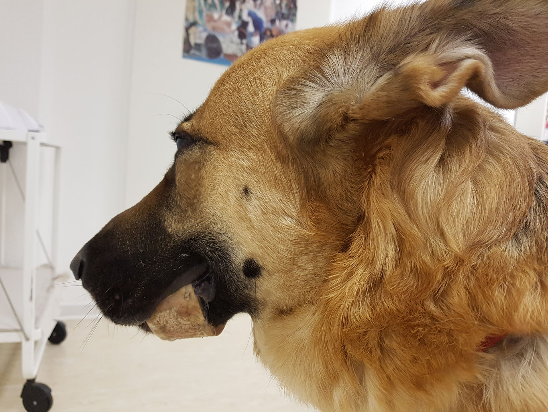 Beim hund schnauze herpes Canines Herpesvirus