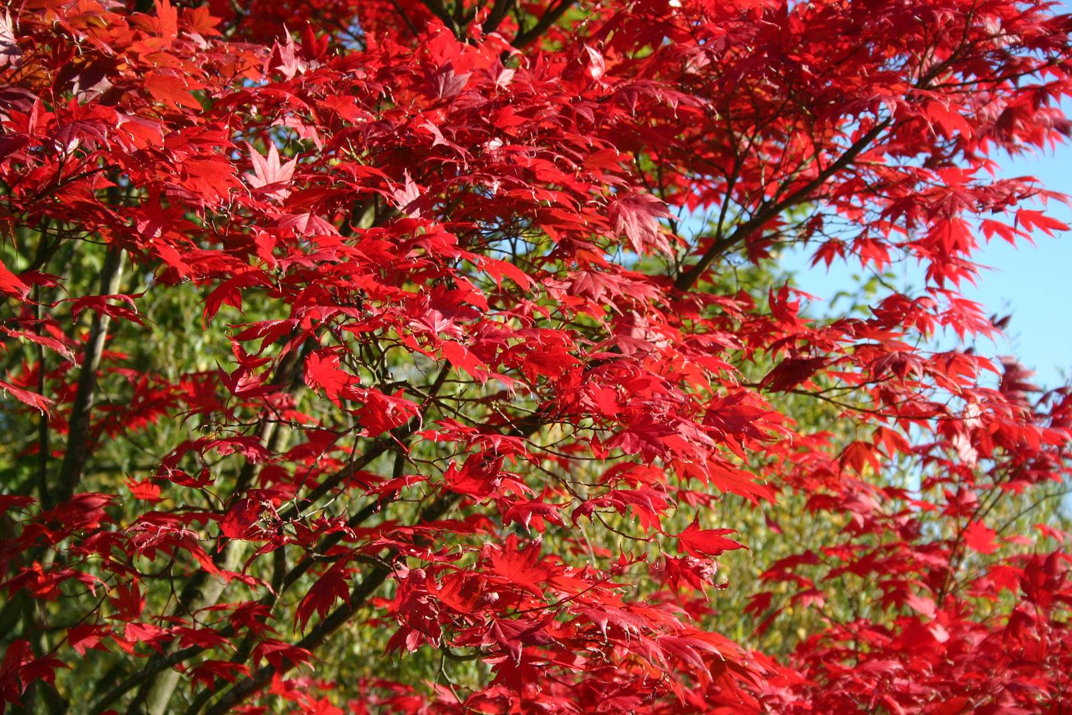 Herbstliches feuerwerk b ume und str ucher mit auff lliger herbstf rbung torsten schlicht - Gartenplanung hannover ...