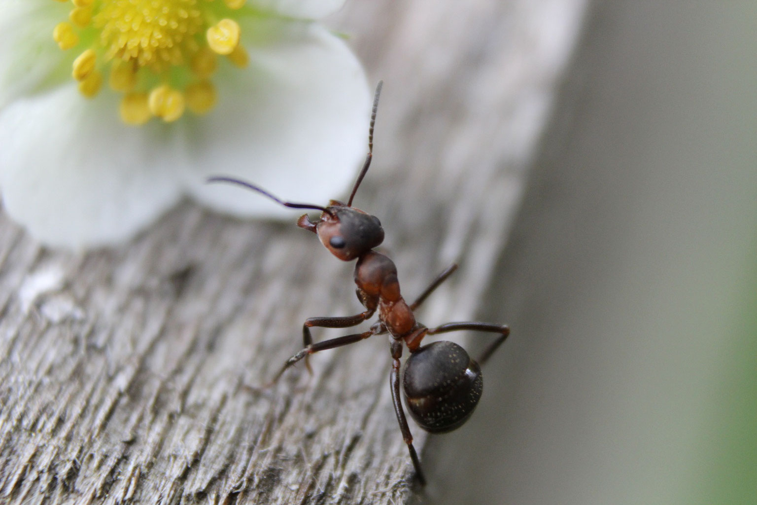 ameisen im haus günstig bekämpfen - warumda - Ameisen Im Wohnzimmer