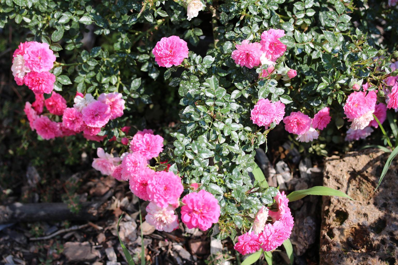 Rose Rampicanti Senza Spine rose 2019 - orchideengärtnerei alois putzer floricoltura di