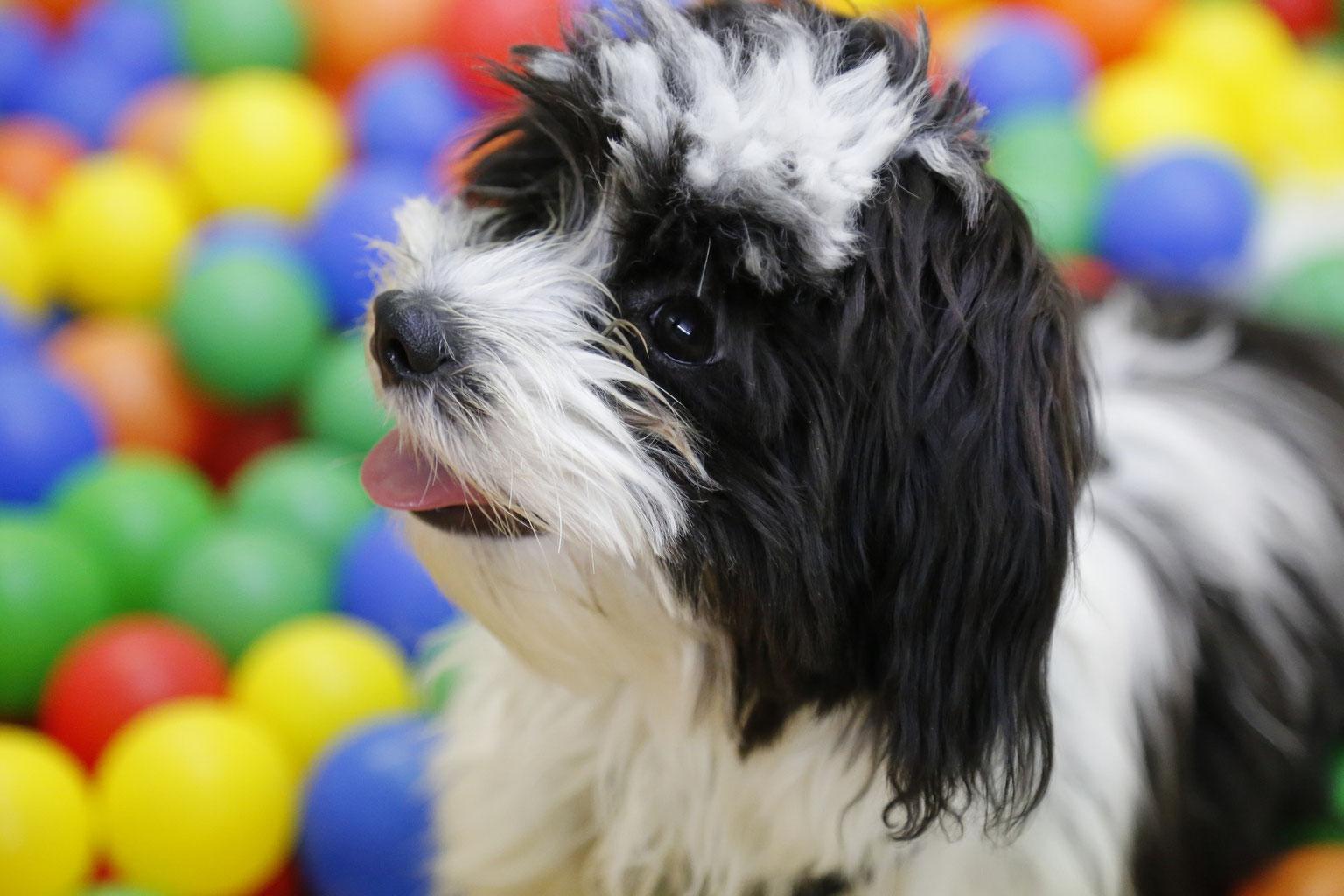 Leistenbruch Hund Bilder - The Ikea Table Tops