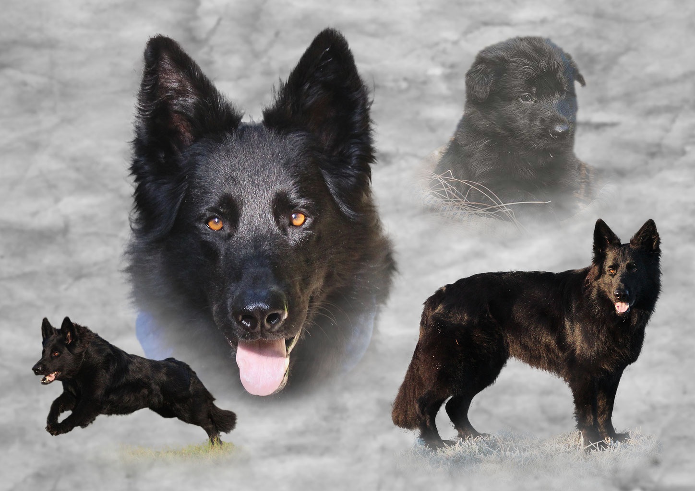 Schwarzen Panther