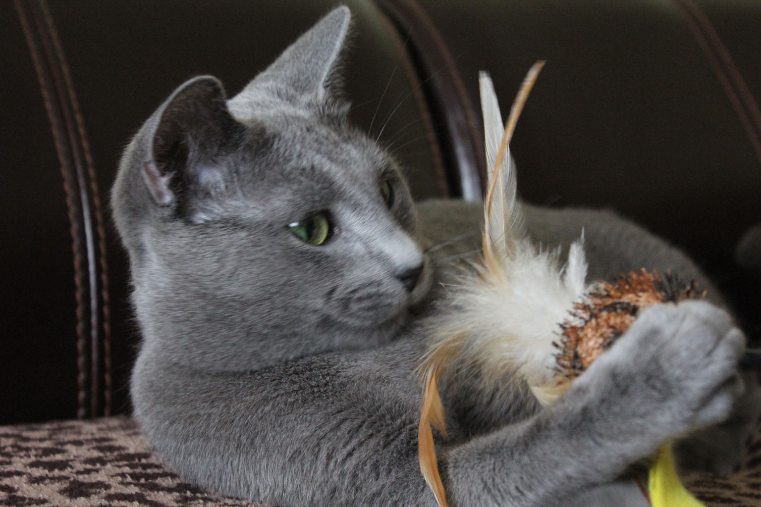Our Russian Blue - Russian Blue Kittens And Pug Puppies -7030