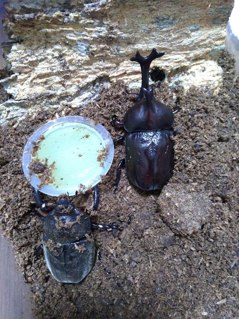 飼育 ケース カブトムシ