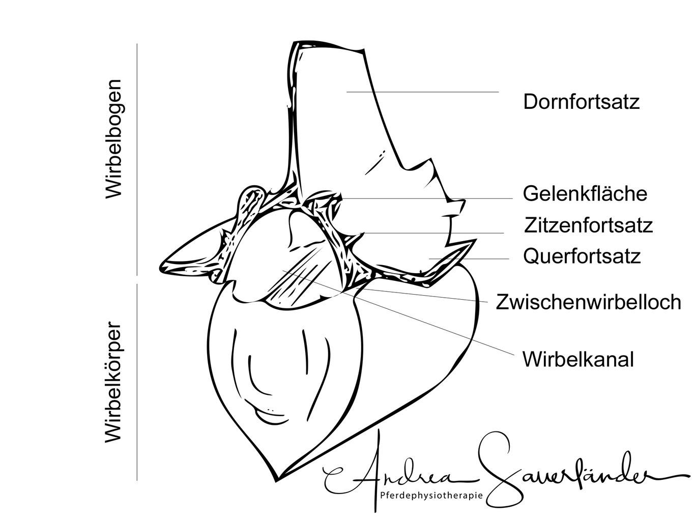 Kurzdarstellung: Aufbau eines Wirbels - Andrea Sauerländer ...
