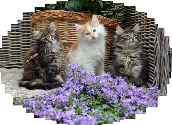 Uitgelezene Cattery AmorsAcker Noorse Boskatten - Amors Acker Noorse KS-84