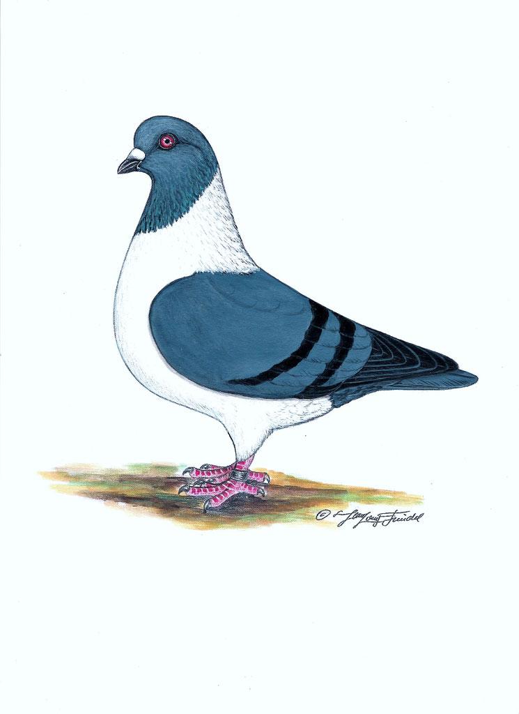 Standard Du Strasser De Moravie Site Du Club Francais Du Pigeon