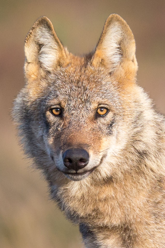 Der Wolf in Sachsen-Anhalt