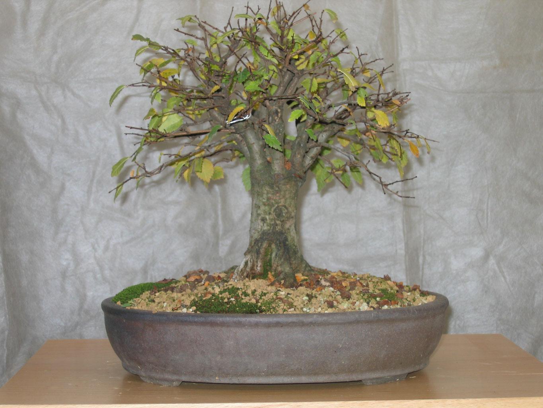 Olmo jin bonsai club for Dove comprare bonsai