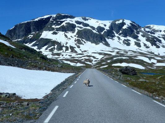 Das Schaf will uns nur sagen, dass die alte Haukelifjellstraße da hinten gesperrt ist...