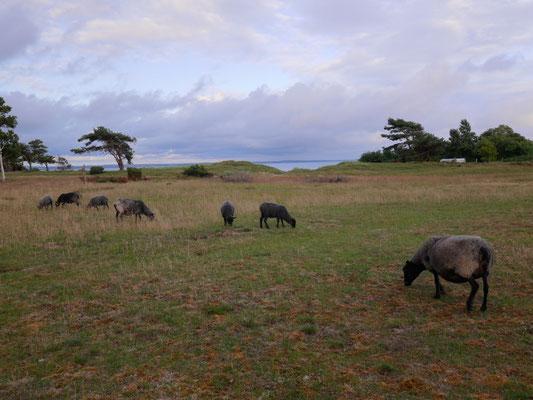 Schafweide an der Ostsee bei Halmstadt