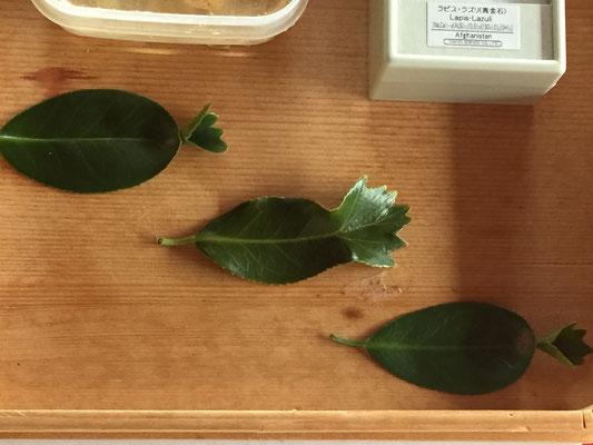 珍しい金魚のような椿の葉っぱ