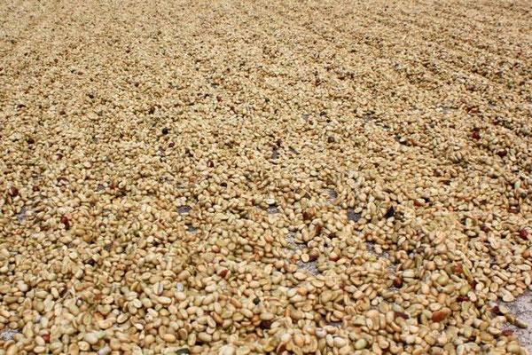 Trocknende Bohnen in Pergamino