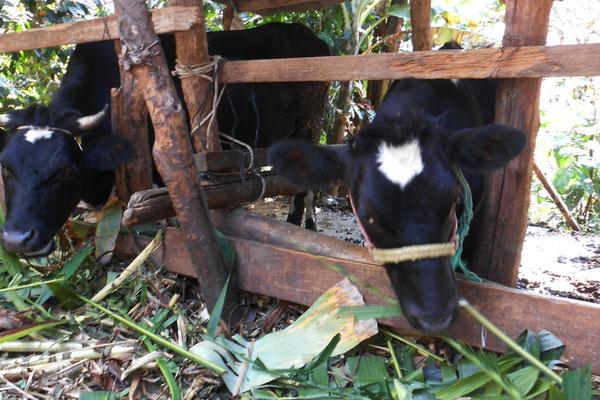 Ovidios Kühe beim Fressen