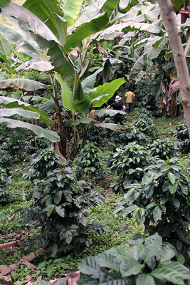 Kaffeefarm von Oswaldo Armendaris (AACRI)