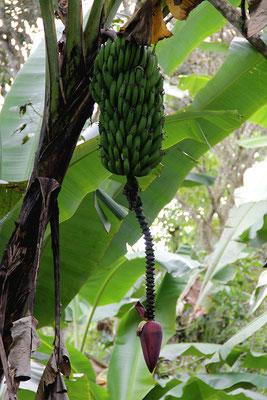 Bananen auf der Farm von Oswaldo Armendaris