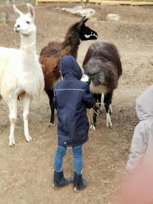 Lama füttern, Lamas ganz nah, Lamawanderung, Lamawanderung Niederösterreich, Lamawandern mit Kindern, Lama-Erlebnis, Lamahof, Lama Mama, Sommerein, Niederösterreich