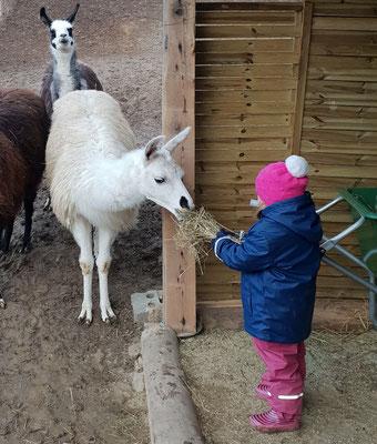 ama füttern, Lamas ganz nah, Lamawanderungen, Lamawanderung Niederösterreich, Lamawandern mit Kindern, Lama-Erlebnis, Lamahof, Lama Mama, Sommerein, Niederösterreich
