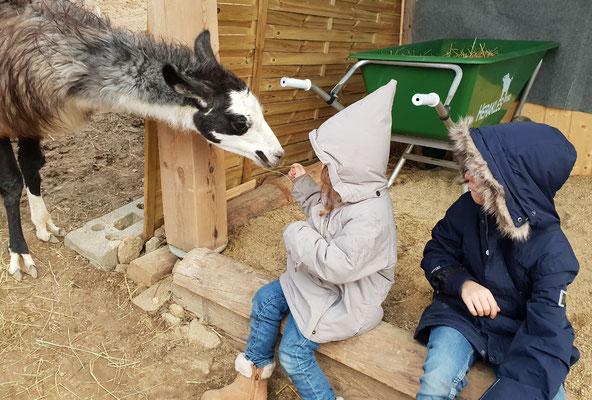 Lamas füttern, Lamas ganz nah, Lamawanderungen, Lamawanderung Niederösterreich, Lamawandern mit Kindern, Lama-Erlebnis, Lamahof, Lama Mama, Sommerein, Niederösterreich