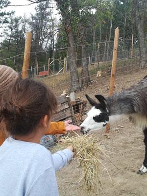 Lama füttern, Lamawanderungen, Lamawanderung Niederösterreich, Lamawandern mit Kindern, Lama-Erlebnis, Lamahof, Lama Mama, Sommerein, Niederösterreich