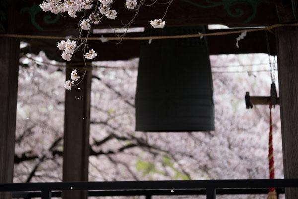 鐘楼と桜、横2・落ちていく花びらが主役。そこにピントが入ったのはたまたま。たまたまでもいいんです、でもそれを自分の技術として吸収する事が大事です。櫓を額縁効果に使っています。