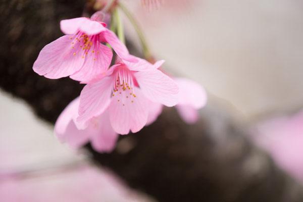 緋寒桜ですかね?日陰を作って撮る作例をお見せした場所ですね。