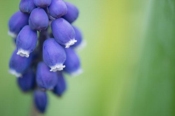 ムスカリも可愛いです。青系の花の色はちょっと難しさがあります。