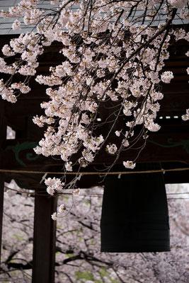 鐘楼と桜、縦2・より対角線を意識して全体のバランス重視の作例。