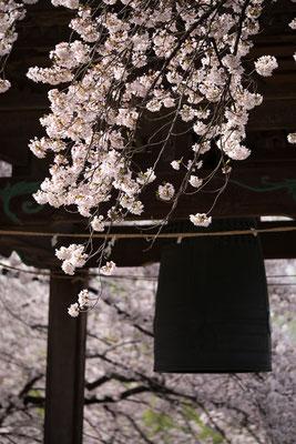 鐘楼と桜、縦1・枝垂れた枝が主役の作例。花で額縁効果。