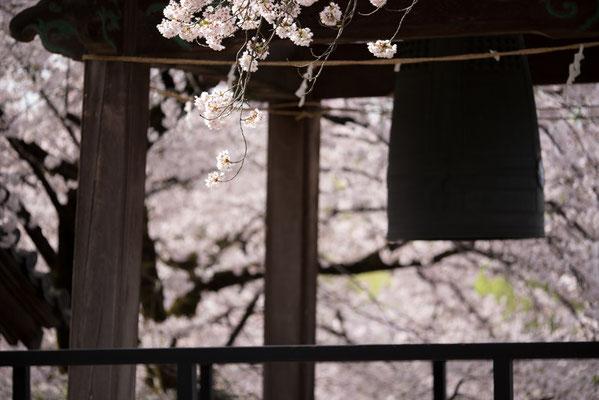 鐘楼と桜横1・手前の花の群れ2つが主役の作例。