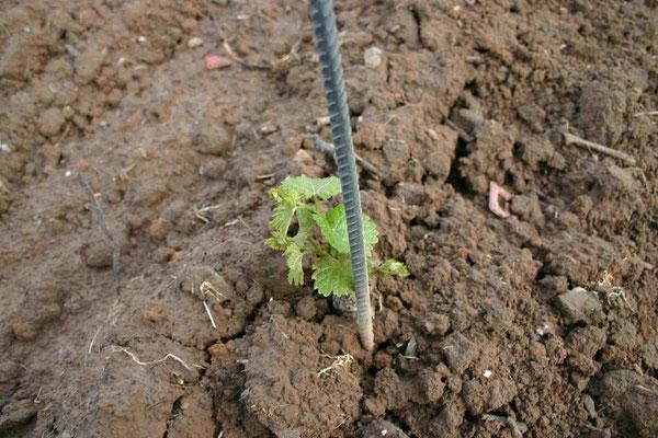Bild 15: Die kleinen Reben wachsen, ... (23. Mai 06)